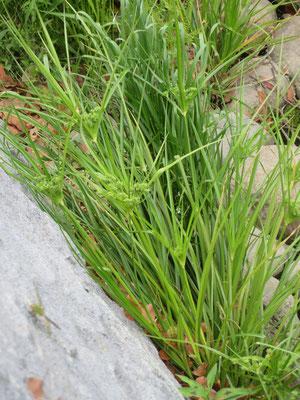 メリケンガヤツリ (生態系被害防止外来種)