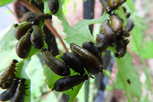 クズについていたクズクビボソハムシの幼虫(中国産外来種) 生態系被害防止外来種の筆頭候補