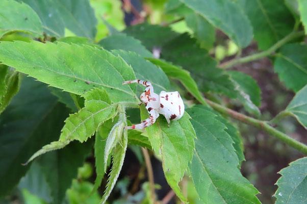 アズチグモ  (カニグモ科) 白い花に擬態しているといわれている