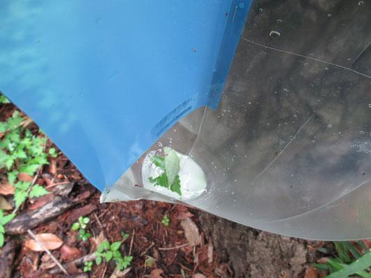 石鹸水を注いだところです (トラップの翼にカシナガがぶつかり落下して石鹸水に入水という仕組みです)