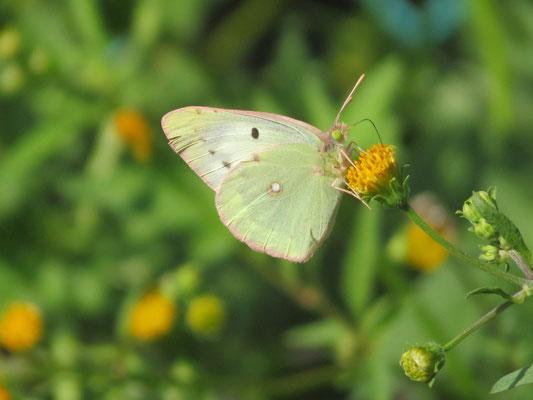 センダングサを吸蜜するモンキチョウ(白色)