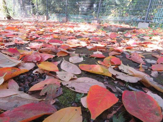 カキの葉の赤い絨毯