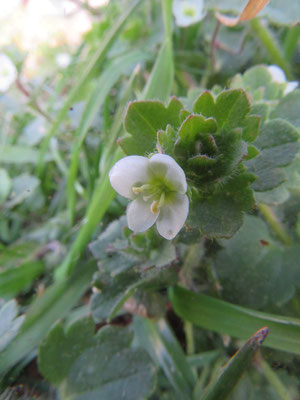 コゴメイヌノフグリ オオイヌノフグリの白花と思ったが調べた結果コゴメイヌノフグリという外来種と判明