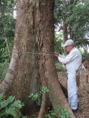 2011年以来の大径木の周長調査