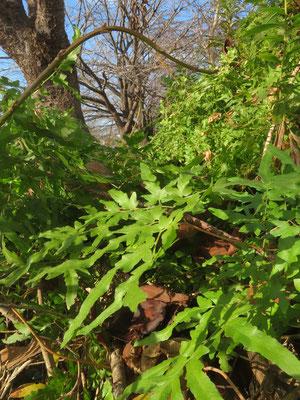 川沿いの植え込みにカニクサ(杉並区の注目種)