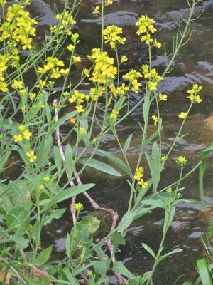 セイヨウカラシナ (生態系被害防止外来種)菜の花
