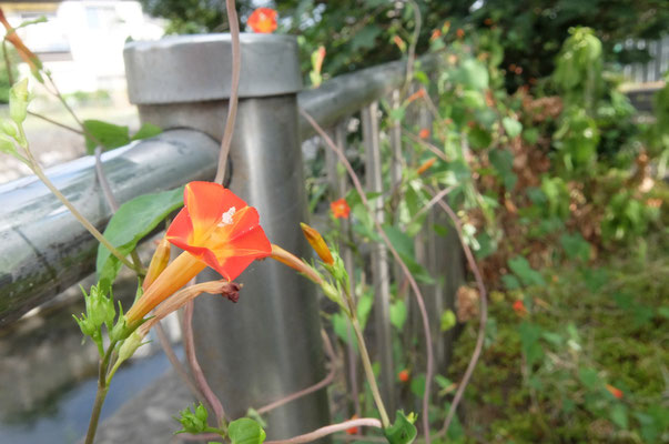 マルバルコウソウ(外来種、川沿い植え込み)