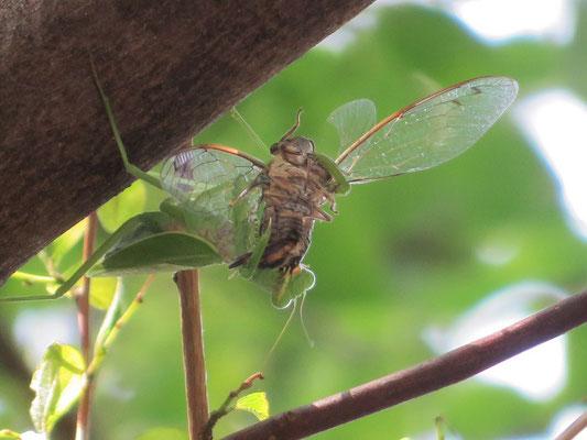 ツクツクボウシを補食するカマキリ