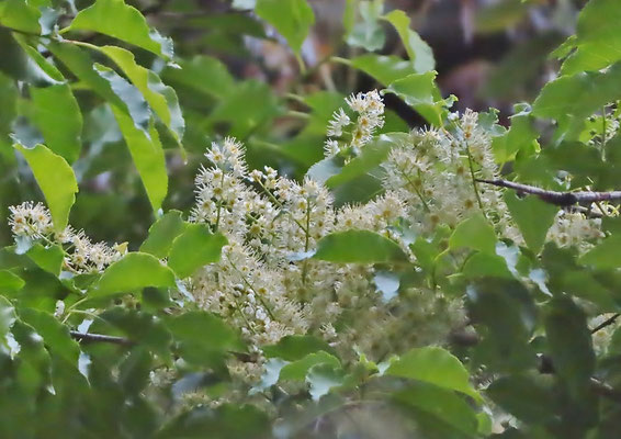 この森に1本だけあるイヌザクラの開花