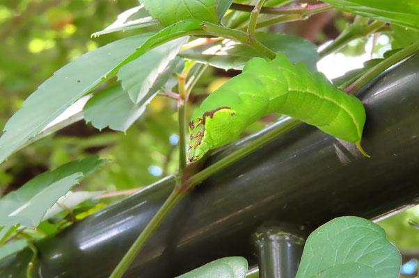 ブドウスズメの幼虫 体長7~8cmの大型 ヤブガラシに付いていた 自然環境が良くないと育たないという (川沿い植え込み)
