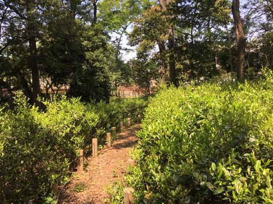 茶畑 手入れの効果か少しは茶畑の様になってきました 観察の森