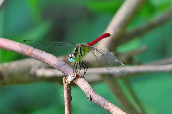 雄の成熟個体の顔は青白くなるので遠くからでもそれと分かる マイコアカネ(区部NT)
