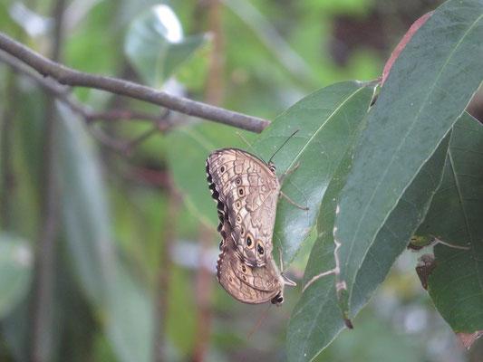サトキマダラヒカゲの交尾