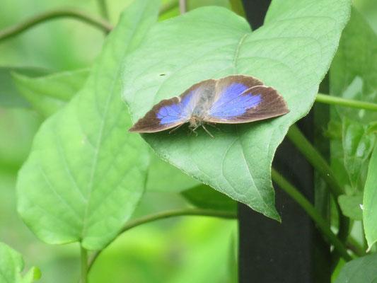 魅力的なブルー  ヘクソカズラの葉にムラサキシジミ