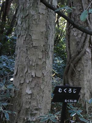 ムクロジの木肌