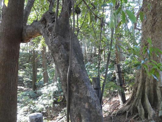 アカガシの樹皮