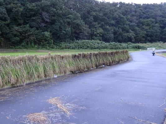 右の方の黒っぽい稲は倒れて水につかっていた稲。これがまた重たいのです。