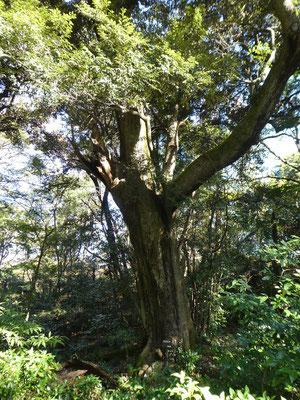 スダジイの大木、土塁に植樹