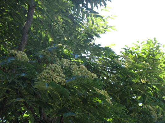 カラスザンショウ 池花の観察会で見ましたが花は咲いて無かったですね