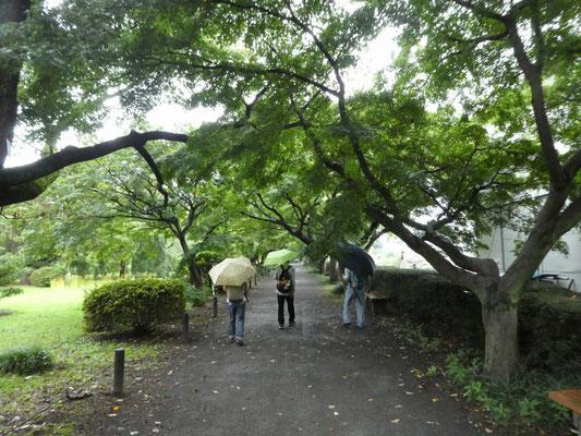 カエデ並木