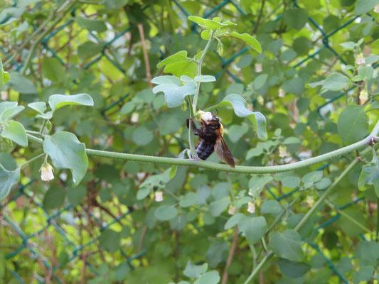 ハコベホオズキの蜜を吸うクマバチ