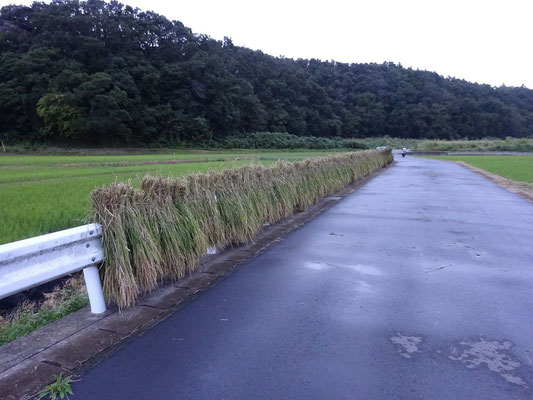 管理道路のガードレールに掛けてしばらく乾燥する。台風で乾かないかも。