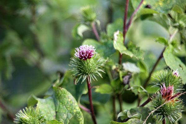 ゴボウの花