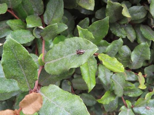 ツルグミに生息するてんとう虫のサナギ