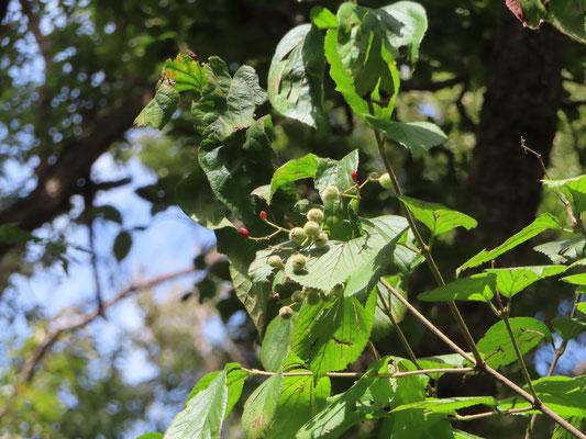 ガマズミの赤い実と虫こぶ