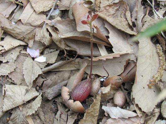 ドングリ(コナラ)の芽
