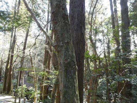 トウカエデの樹皮