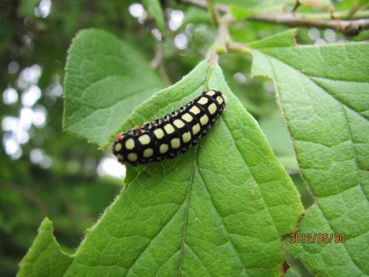 シロシタホタルガ(幼虫)