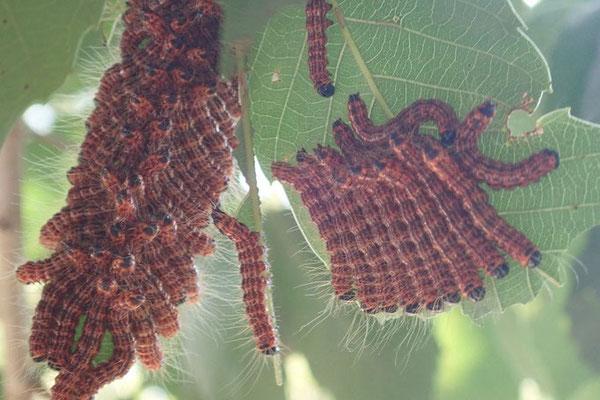 ツマキシャチホコの幼虫
