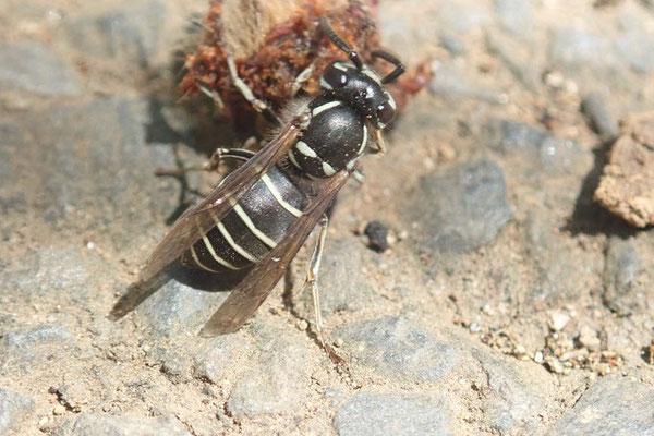 黒スズメバチが捕食