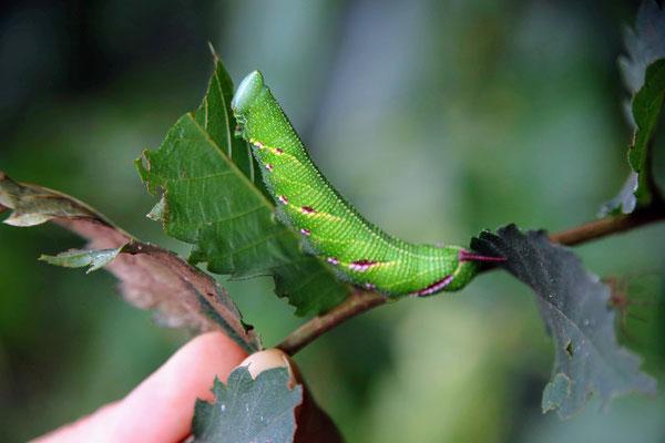 ウンモンスズメガの幼虫