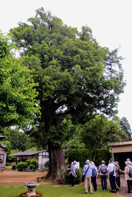 大隆寺カヤの樹