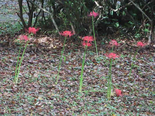 遅咲きのヒガンバナ