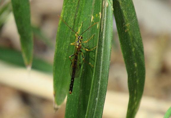 オオホシオナガバチ♂ ここまでの写真は豊島さん撮影です。 最後の昆虫の同定には鶴田さんのお力をお借りしました。