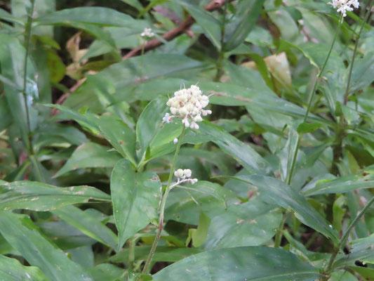 ヤブミョウガ(花)