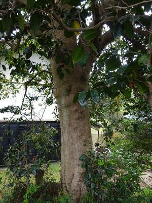 ヤブツバキの大木