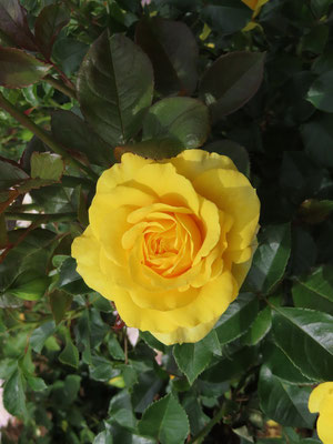 きれいなバラたち