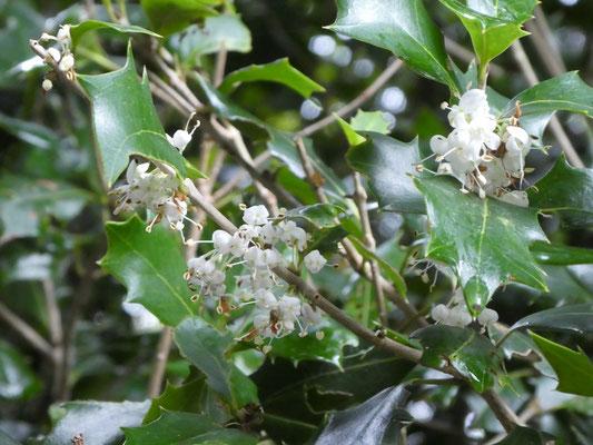 ヒイラギの花 クリスマスの赤い実はセイヨウヒイラギで別種