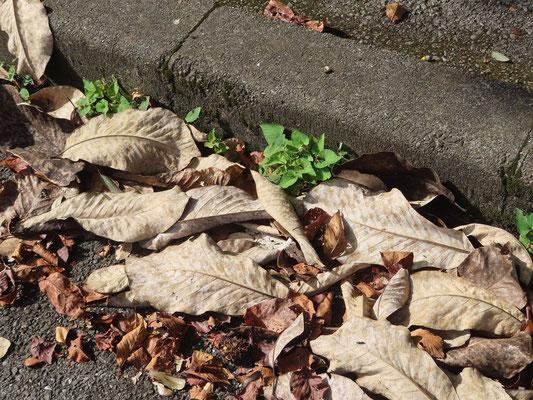 道路にはホオノキの枯葉が沢山落ちていました