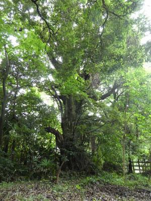 ⑫神社の奥スダジイの巨木