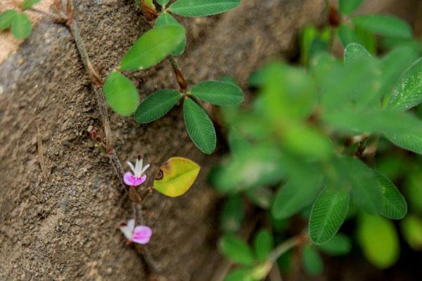 ヤハズソウの花