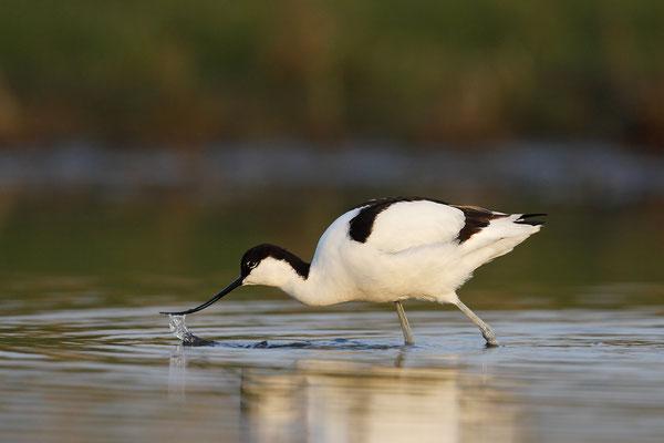 Säbelschnäbler,Recurvirostra avosetta,Avocet 8