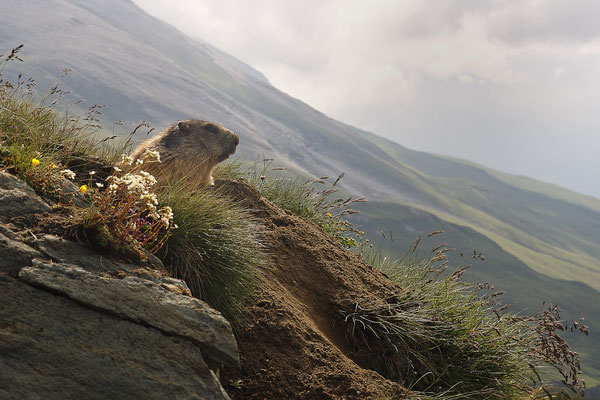 Alpenmurmeltier,Marmota,Marmot 0005