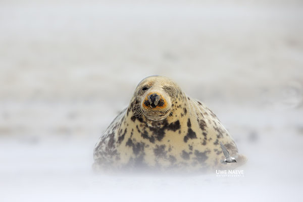 Kegelrobbe,Grey Seal,Halichoerus grypus 0187