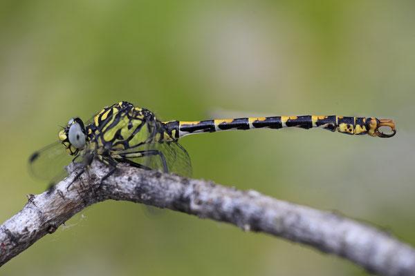 Kleine Zangenlibelle Maennchen Onychogomphus forcipatus 0002