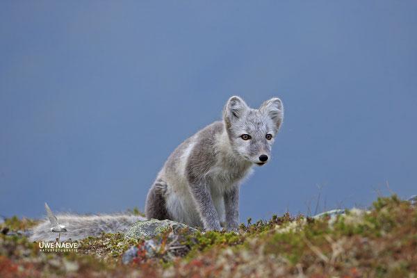 Polarfuchs,Eisfuchs,Arctic Foxes,Alopex lagopus,Vulpex lagopus 0090